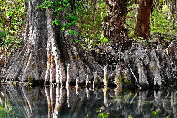 Cypress Art Print featuring the photograph Cypress Trees - Nature's Relics by Christine Till