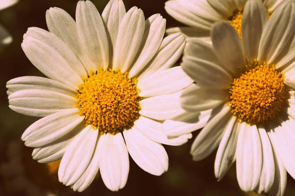 Flower Art Print featuring the photograph Daisies by Chevy Fleet