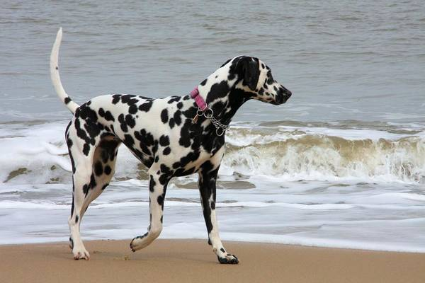 Dalmatian By The Sea Art Print featuring the photograph Dalmatian By The Sea by Gordon Auld