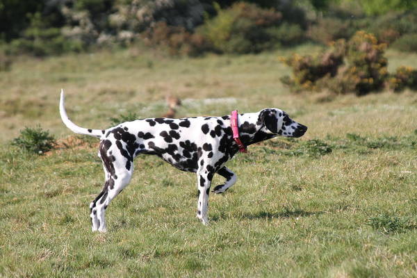 Dalmatian Pretending To Be A Pointer Art Print featuring the photograph Dalmation Pretending To Be A Pointer by Gordon Auld