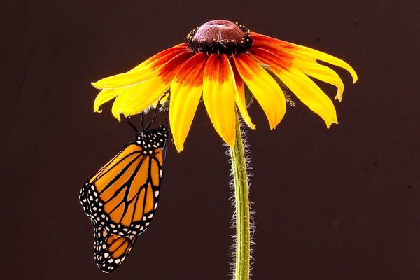 Animals Art Print featuring the photograph Dangling Monarch by Jean Noren