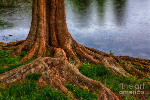 North Carolina Art Print featuring the photograph Deep Roots - Tree On North Carolina Lake by Dan Carmichael