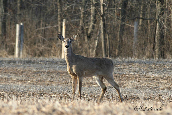Deer Art Print featuring the photograph Deer In Field by Sarah Lalonde