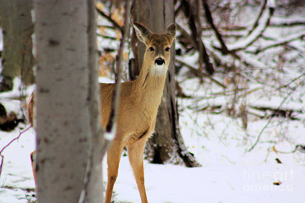 White Tail Deer Art Print featuring the photograph Deer In Winter 2011. No.2 by RL Clough