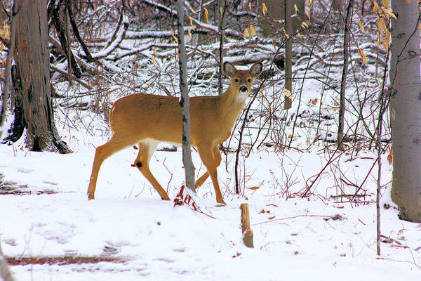 White Tail Deer Art Print featuring the photograph Deer In Winter 2011.no.3 by RL Clough