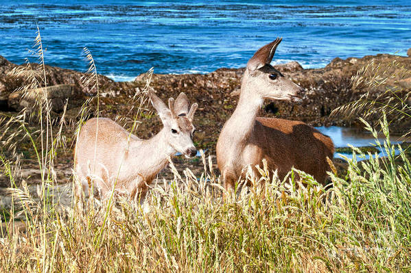 State Beach Near Big Sur Art Print featuring the photograph Deer On The Beach At Point Lobos Ca by Artist and Photographer Laura Wrede