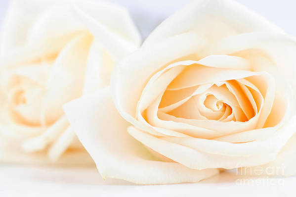 Rose Art Print featuring the photograph Delicate Beige Roses by Elena Elisseeva