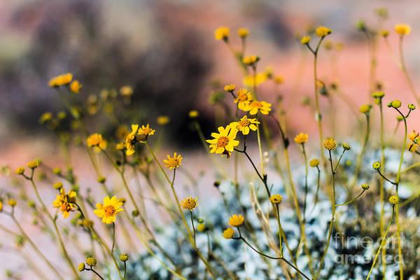 Yellow Flowers Art Print featuring the photograph Desert Flowers by CJ Benson