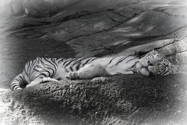 Sleeping Art Print featuring the photograph Do Not Disturb by Joan Carroll