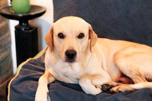 Pets Art Print Featuring The Photograph Dog Is Resting At Home Yellow Labrador Retriever Dog