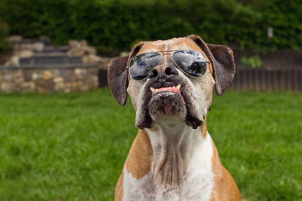 Boxer Art Print featuring the photograph Dog Wearing Sunglass by Stephanie McDowell