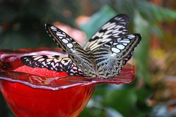 Nature Art Print featuring the photograph Double Butterfly by April Rouse