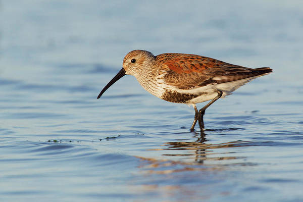 Calidris Alpina Art Print featuring the photograph Dunlin by Ken Archer
