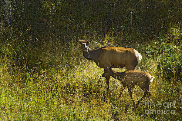 Elk Art Print featuring the photograph Elk Doe And Fawn-signed #4465 by J L Woody Wooden