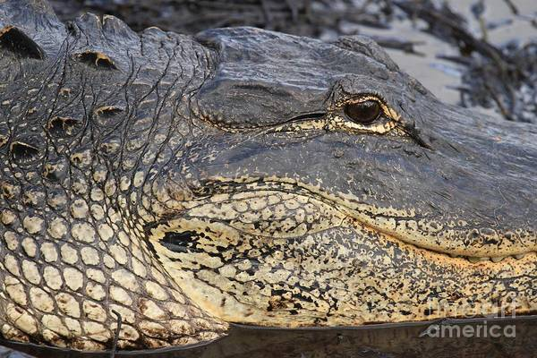 Alligator Print featuring the photograph Eye Of The Gator by Adam Jewell