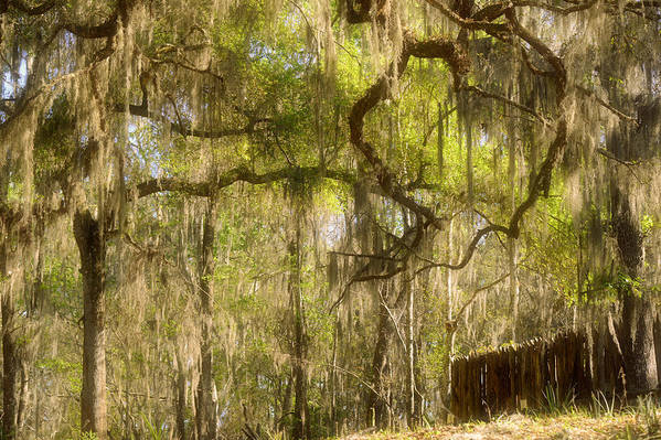 Spanish Art Print featuring the photograph Fabulous Spanish Moss by Christine Till