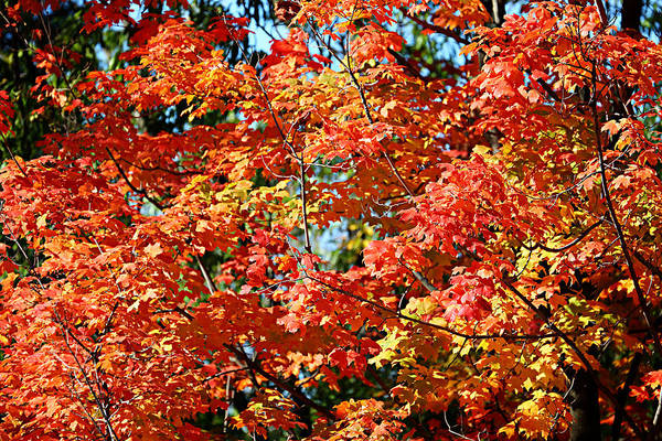 Metro Art Print featuring the photograph Fall Foliage Colors 22 by Metro DC Photography
