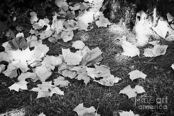 Fallen Art Print featuring the photograph Fallen Acer Maple Leaves On Ground Autumn Fall Celebration Florida Usa by Joe Fox