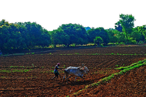 Working Animal Art Print featuring the photograph Farmer With Cow by Gopan G Nair