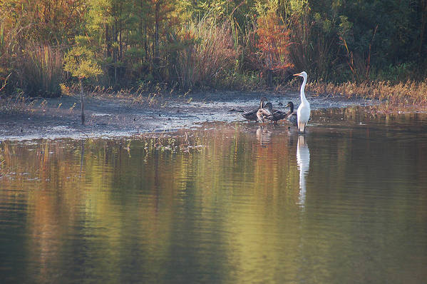 Egret Art Print featuring the photograph Fast Feathered Friends by Suzanne Gaff