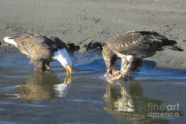 Eagles Art Print featuring the photograph Feasting Pair by Frank Townsley