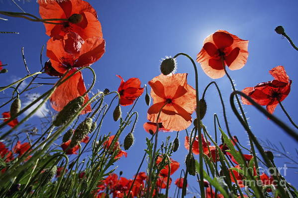 Tranquil Scene Art Print featuring the photograph Field Of Poppies At Spring by Sami Sarkis