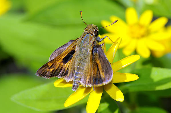 Insect Art Print featuring the photograph Fiery Skipper Butterfly by Charles Feagans