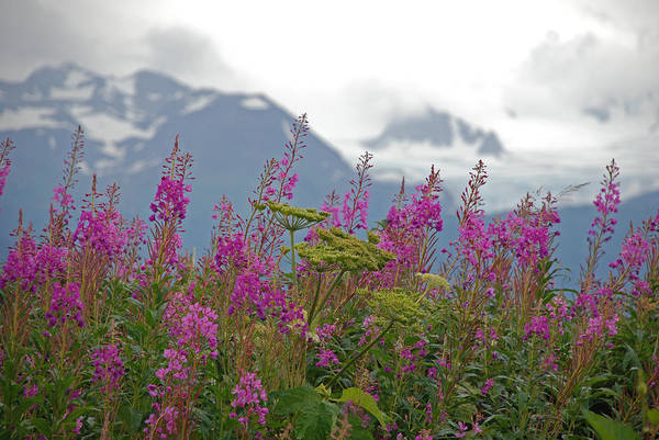 Alaska Art Print featuring the photograph Fireweed by Jim Cook