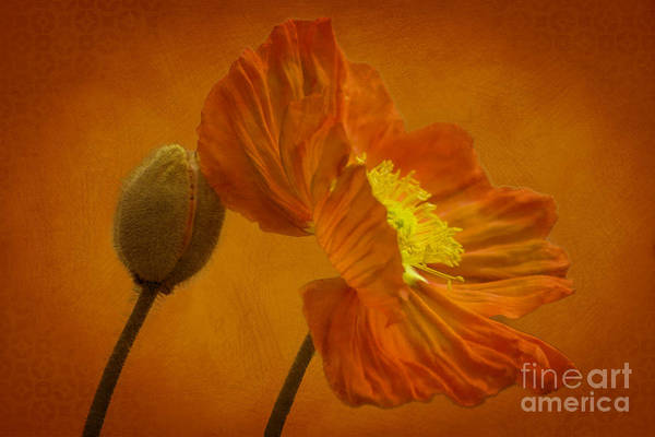 Orange Art Print featuring the photograph Flaming Beauty by Heiko Koehrer-Wagner