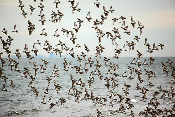 Birds Print featuring the photograph Flock Of Dunlin by Karol Livote