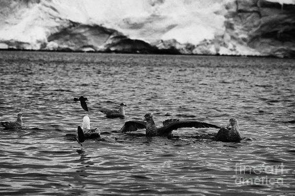 Flock Art Print featuring the photograph flock of southern giant petrels one showing sealmaster agressive feeding posture in port lockroy Ant by Joe Fox
