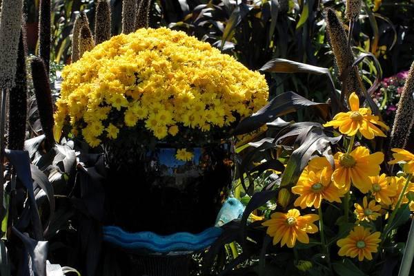 Chrysanthemums Flowers Art Print featuring the photograph Flowers 537 by Joyce StJames