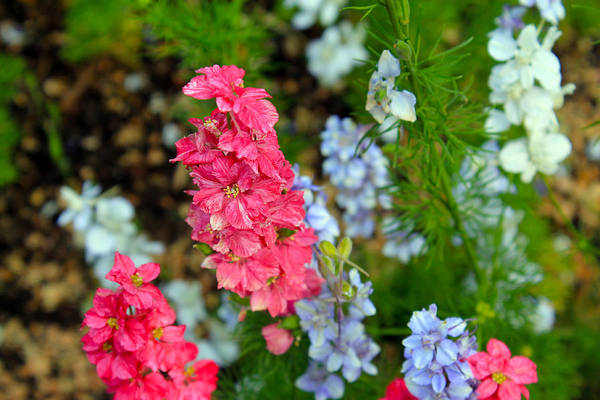 Flowers Art Print featuring the photograph Flowers Of Pink And Blue by Elijah Gomez