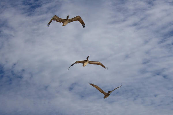 Flying Pelicans Art Print featuring the photograph Flying Pelicans by Genaro Rojas