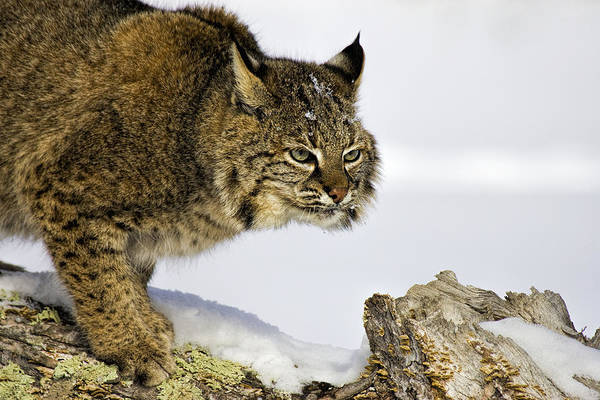 Bobcat Art Print featuring the photograph Focusing by Jack Milchanowski