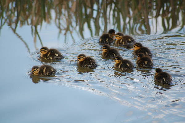 Ducklings Art Print featuring the photograph Follow The Leader by Harvey Scothon