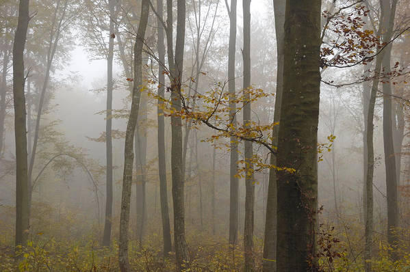 Trees Art Print featuring the photograph Forest In Autumn by Matthias Hauser