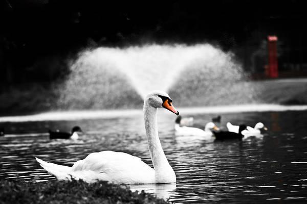 Swan Art Print featuring the photograph Fountain Swan by Shane Holsclaw