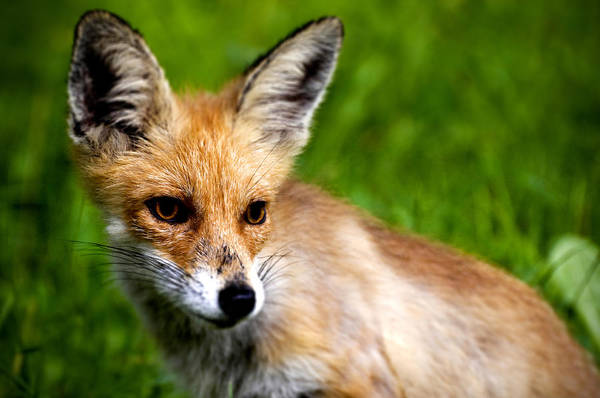 Young Art Print featuring the photograph Fox Pup by Fabrizio Troiani