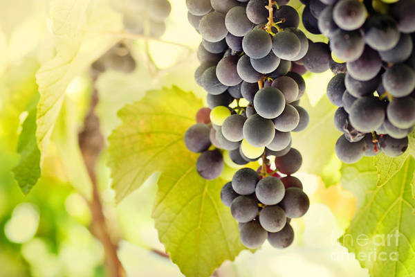 Juicy Art Print featuring the photograph Fresh Ripe Grapes by Mythja Photography