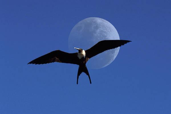 Frigate Art Print featuring the photograph Frigatebird Moon by Jerry McElroy