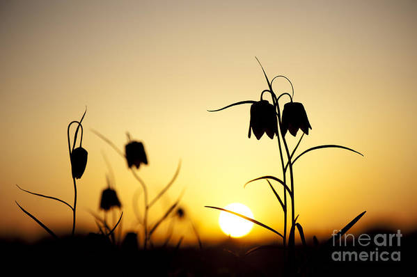 Fritillaria Meleagris Art Print featuring the photograph Fritillary Flower Sunset by Tim Gainey