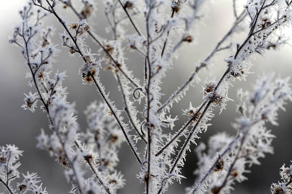 Frost Art Print featuring the photograph Frosty Field Plant by Carolyn Fletcher