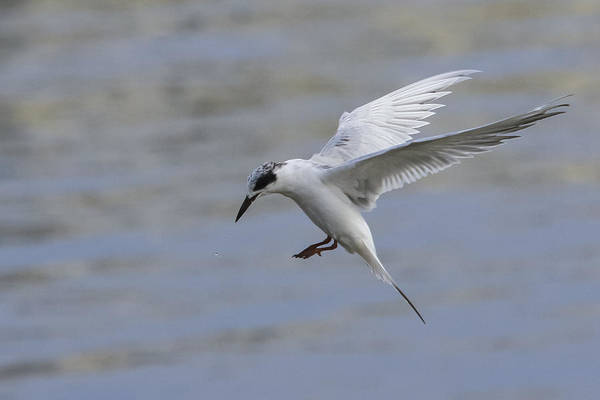 Tern Art Print featuring the photograph Full Stall by Charles Warren