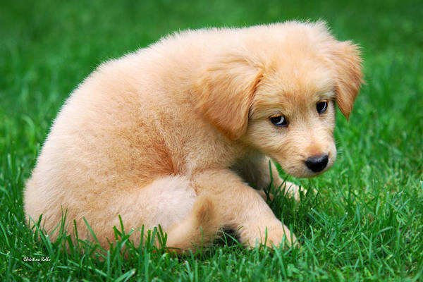 Puppy Art Print featuring the photograph Fuzzy Golden Puppy by Christina Rollo