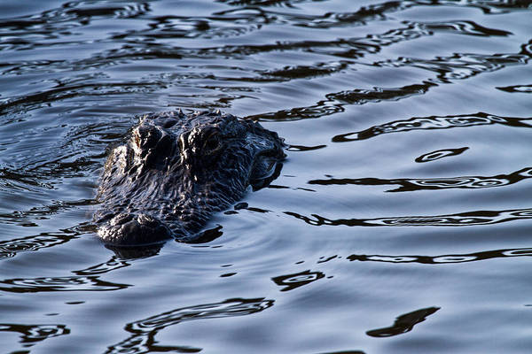 Aligator Art Print featuring the photograph Gator On The Hunt by Andres Leon