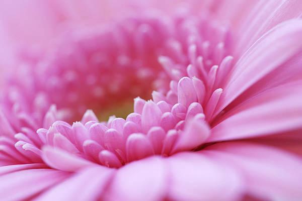 Flower Art Print featuring the photograph Gerbera Daisy Flower - Pink by Natalie Kinnear
