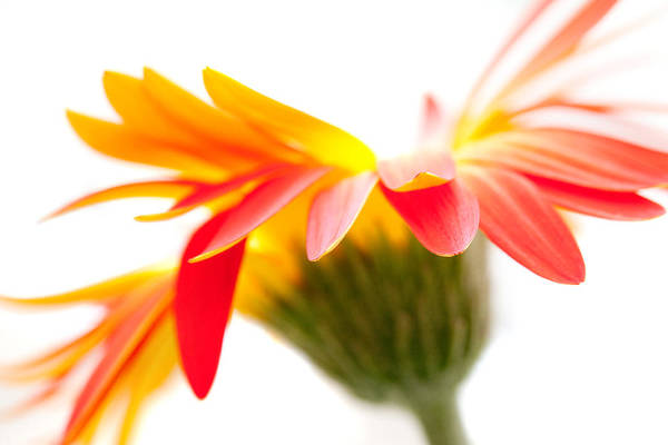 Flower Print featuring the photograph Gerbera Mix Crazy Flower - Orange Yellow by Natalie Kinnear