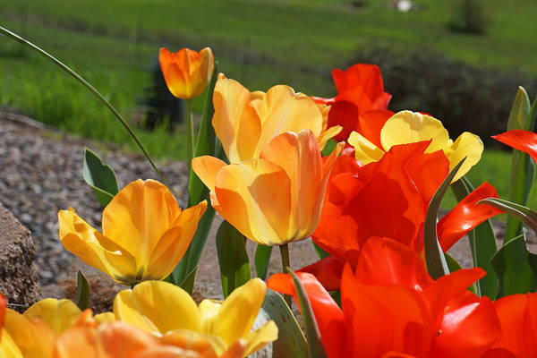 Red Art Print featuring the photograph Glowing Sunlit Tulips Art Prints Red Yellow Orange by Baslee Troutman