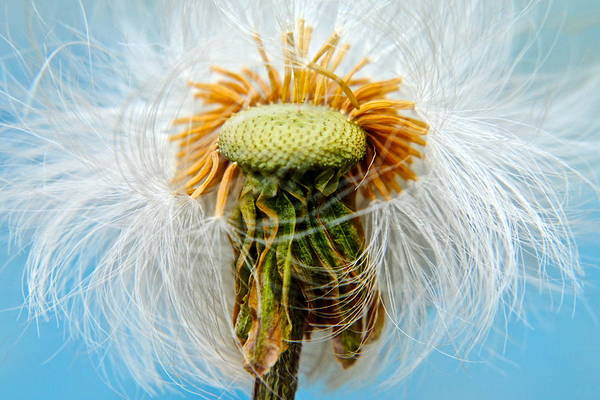 Dandelion Art Print featuring the photograph Going Bald by Frozen in Time Fine Art Photography